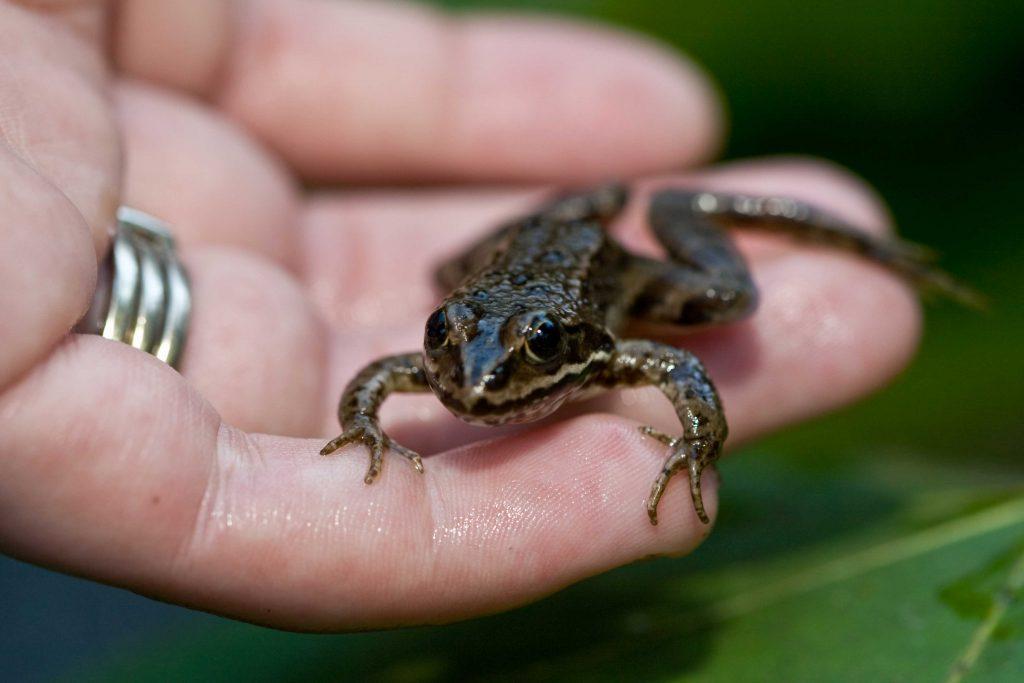 Frog in hand of conservation volunteer