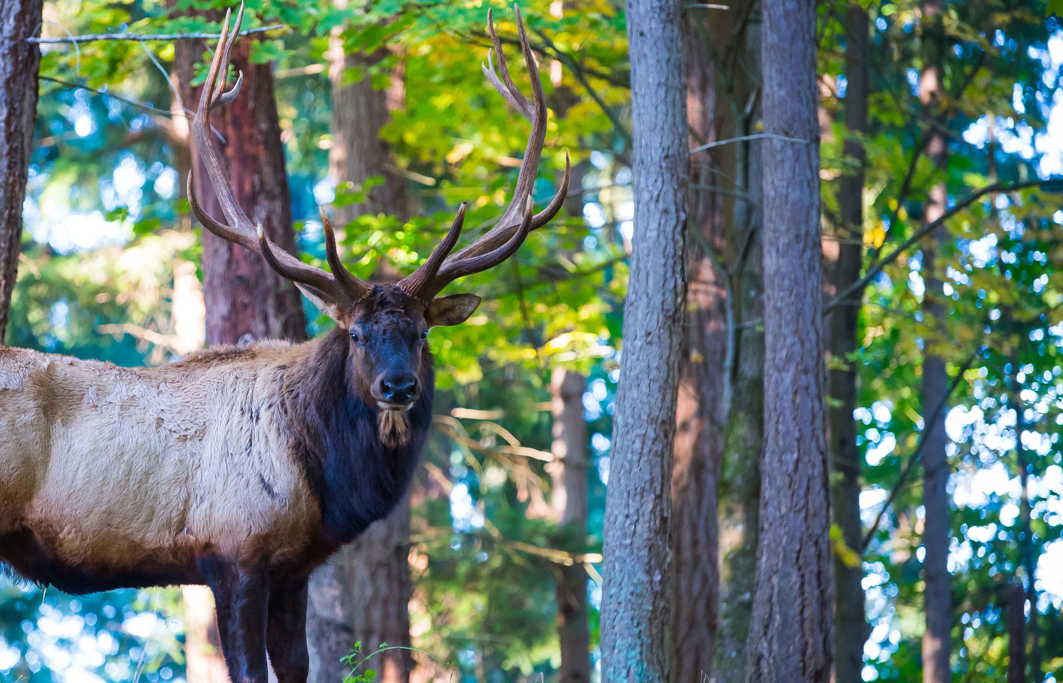 Elk in forest at Northwest Trek best one