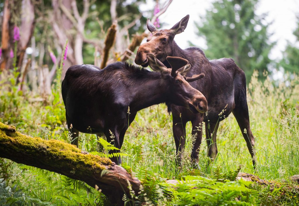 Two moose cuddling