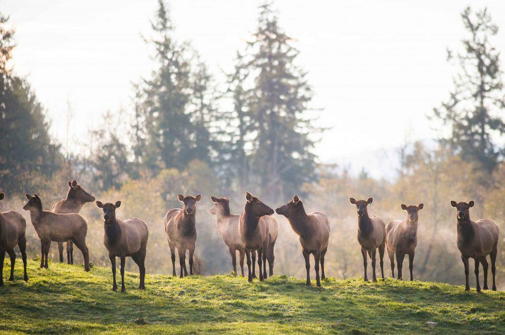 elk herd landscape