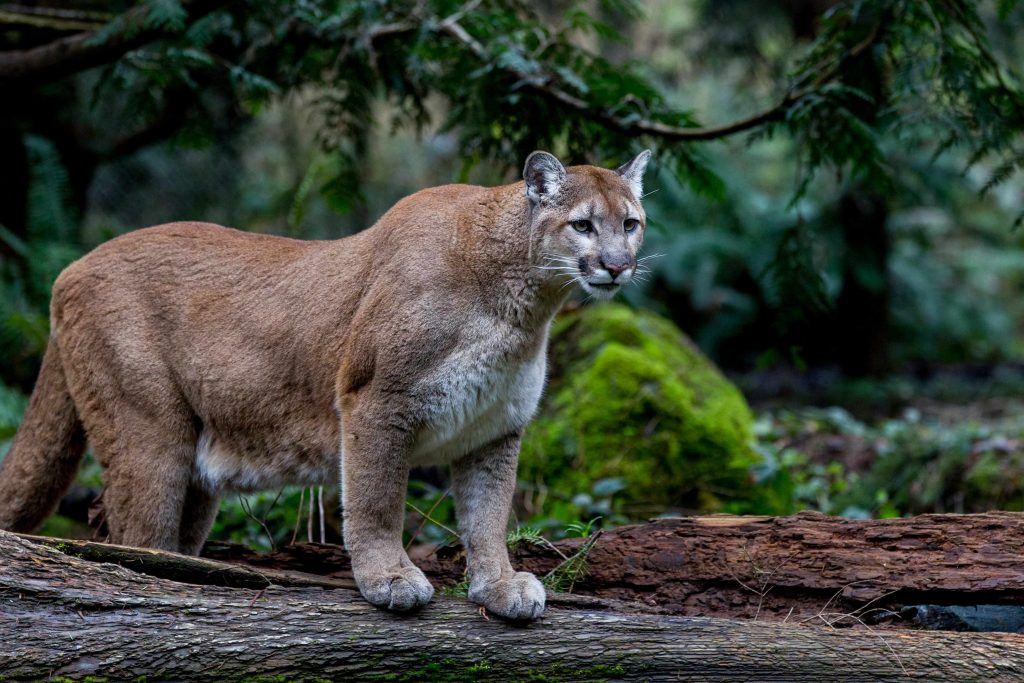 cougar sex