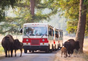 Tram going through trees with bison