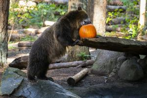 grizzly and pumpkin on log