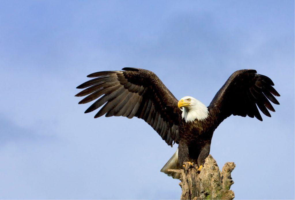 Bald eagle perching