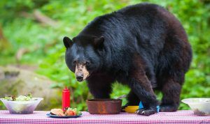 Black bear on picnic table