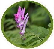 Cordyalis flower