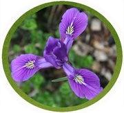 Douglas iris flower