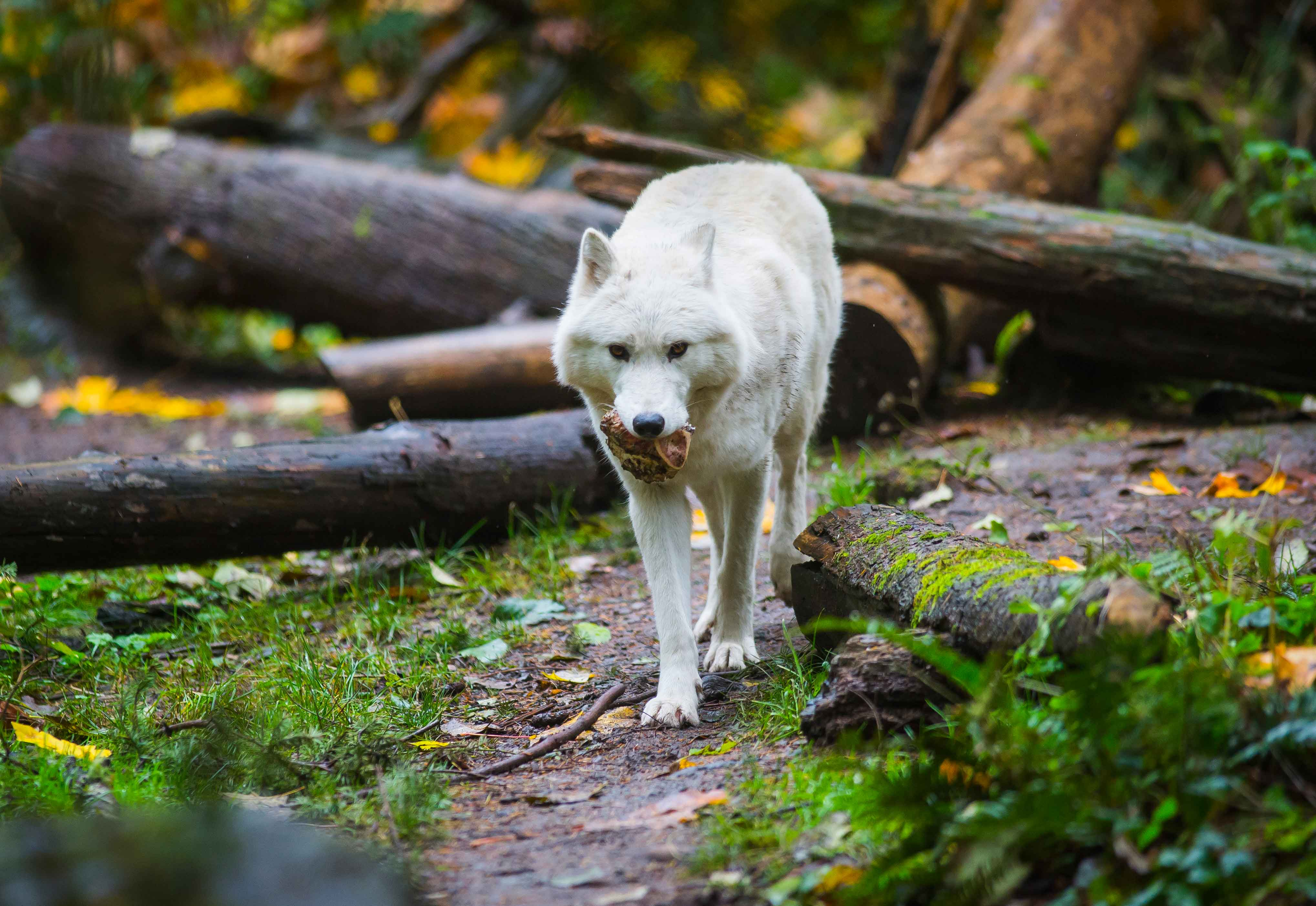 Canines at Northwest Trek: gray wolves, red fox