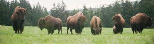 Five bison in Free Roaming Area