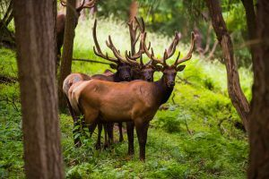 Three elk