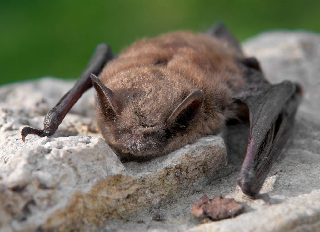 Bat with white-nose syndrome