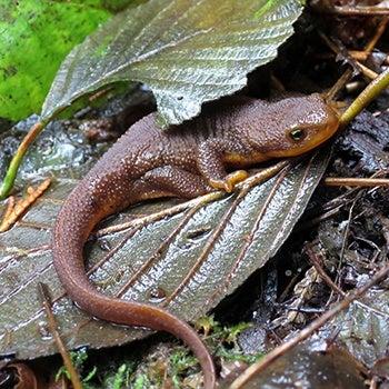 Rough-skinned newt in leaves