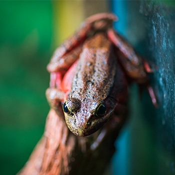 Red-legged frog on branch