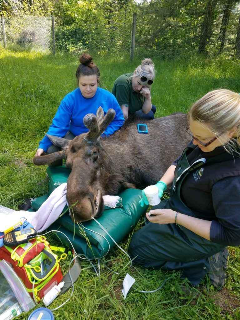 Dr. Allison Case examining moose in field