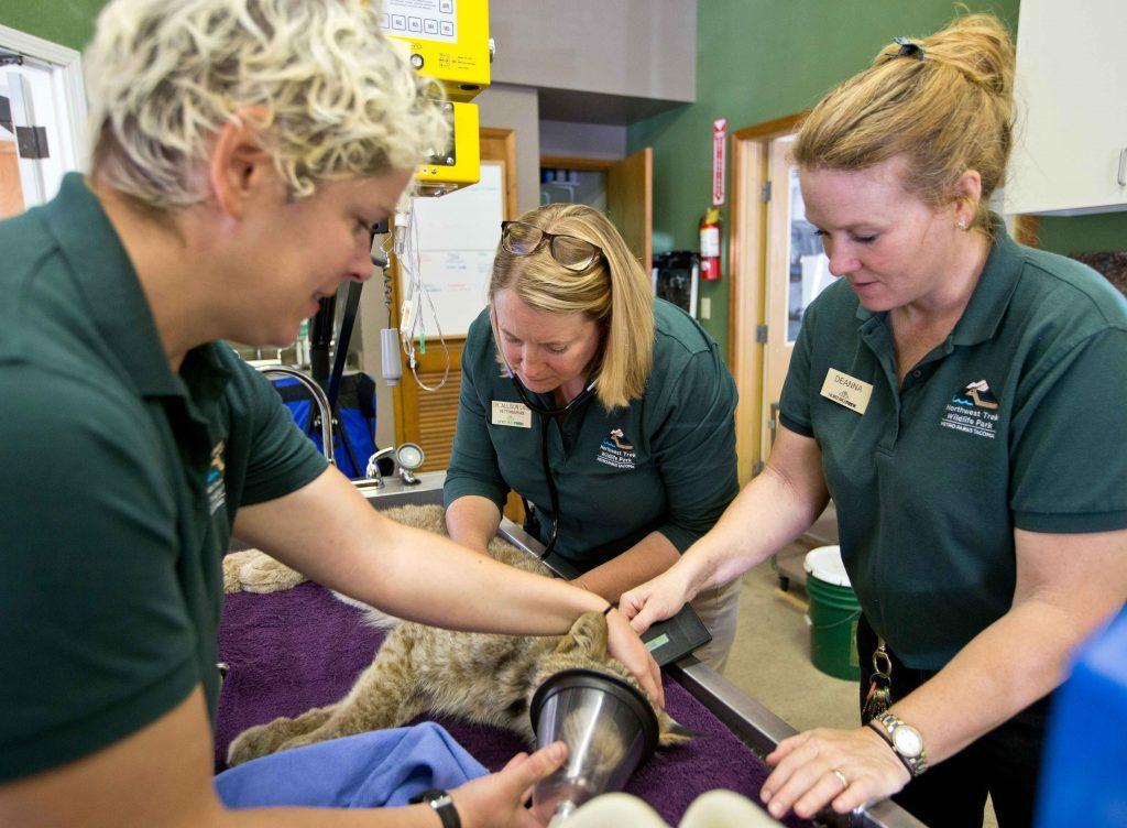 Veterinarians examining lynx