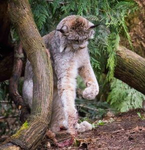 Nuka the Canada lynx playing with a toy.
