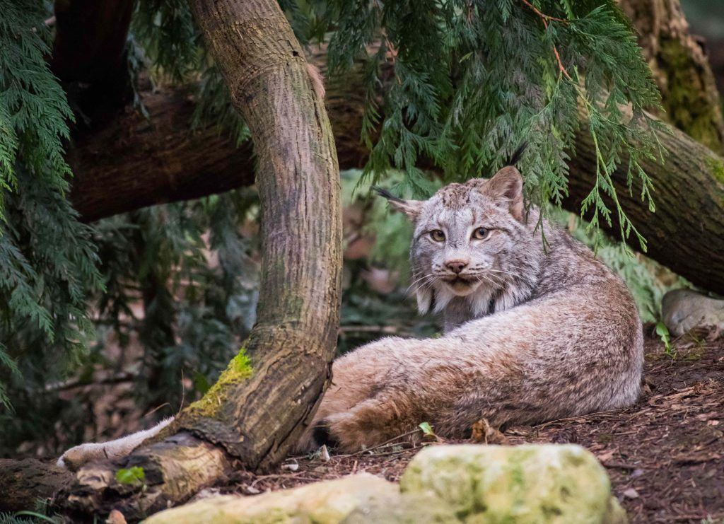 Nuka the Canada lynx under a tree.