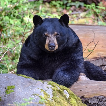 Black Bear on rock