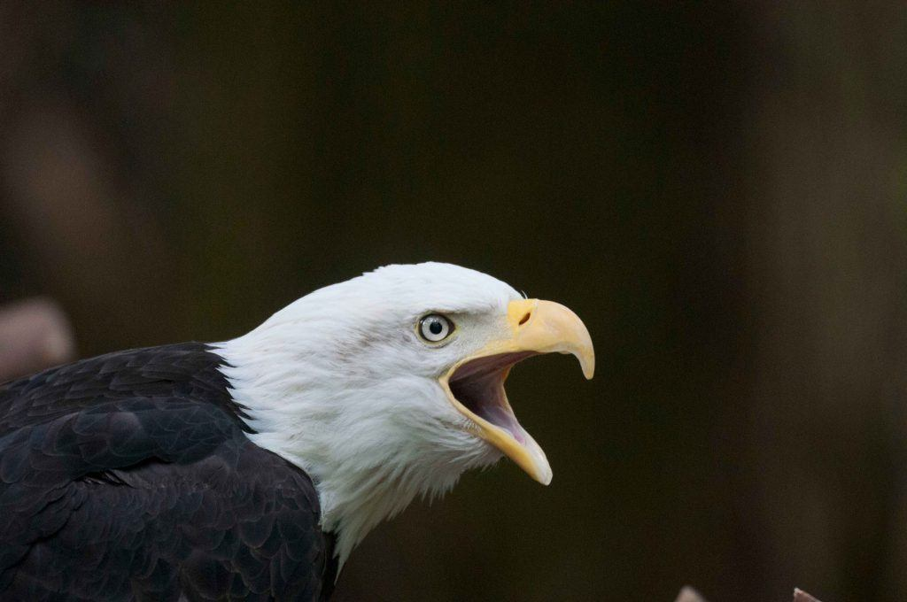Bald eagle crying.