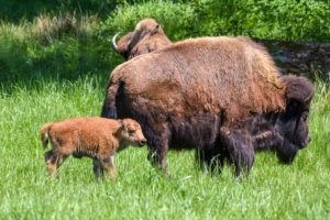 Bison mom and calf