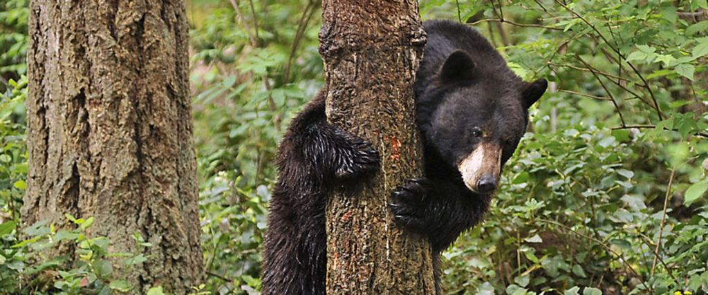 Black bear at tree for Animals
