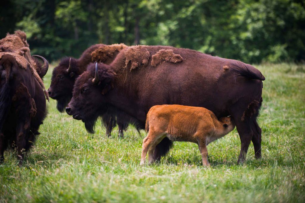 Bison mom and calf