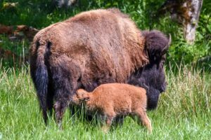 Nursing bison and calf