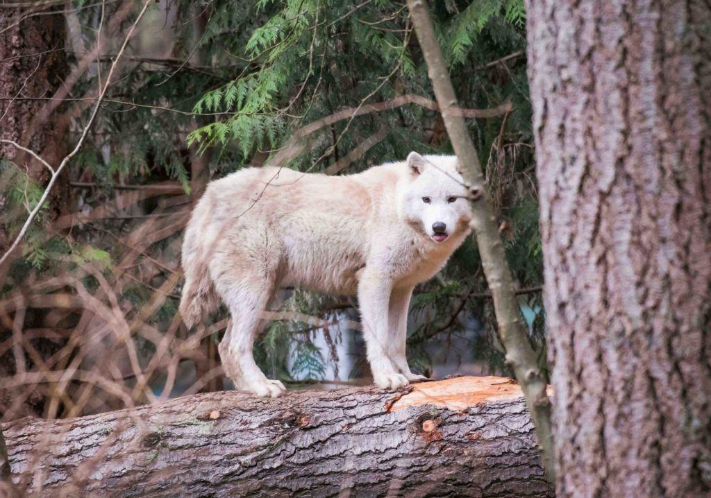 Wolf on log
