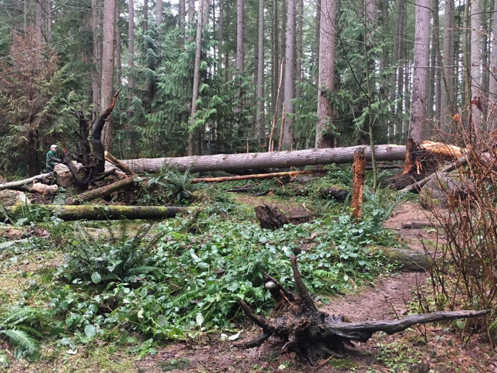 Arborist with fallen log in wolf habitat