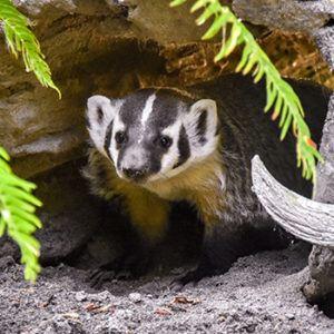 Badger in Forest