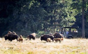 Keeper adventure tour jeep with bison herd.
