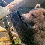 Grizzly bear cub from Alaska