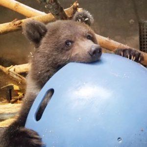 Alaska grizzly cub with weeble toy