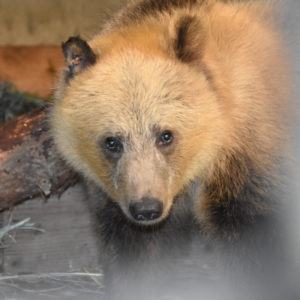 Grizzly bear cub from Montana