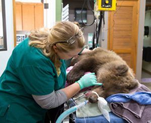 grizzly vet dr case