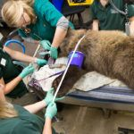 Grizzly bear cub physical exam