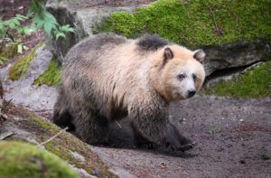 blond grizzly bear in moss