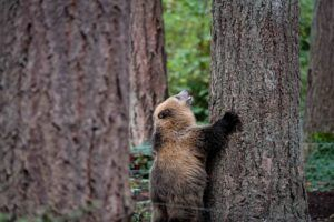 grizzly cub looking up at tree