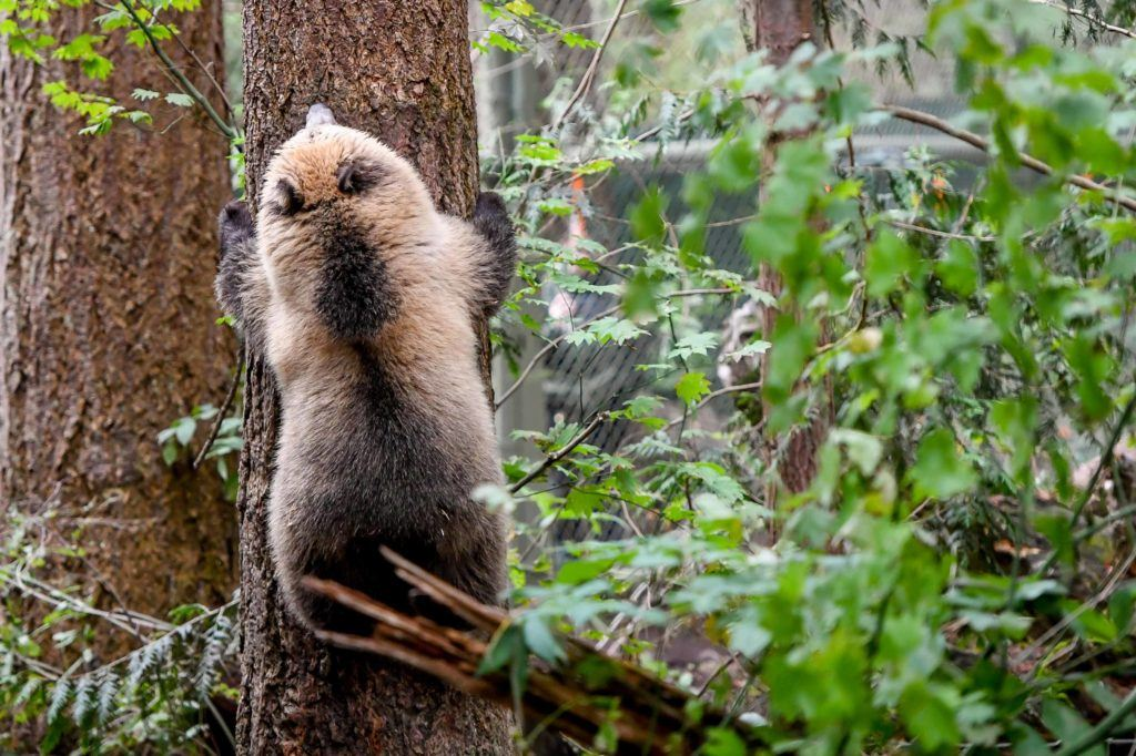 Blond grizzly climbing tree