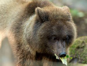 Hawthorne munches on lettuce.