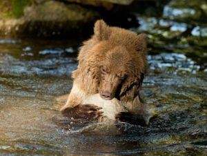 Grizzly cub plays with rock in pool.