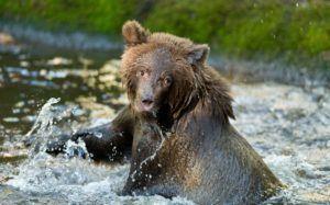 brown grizzly cub splashing