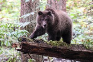 brown grizzly on log