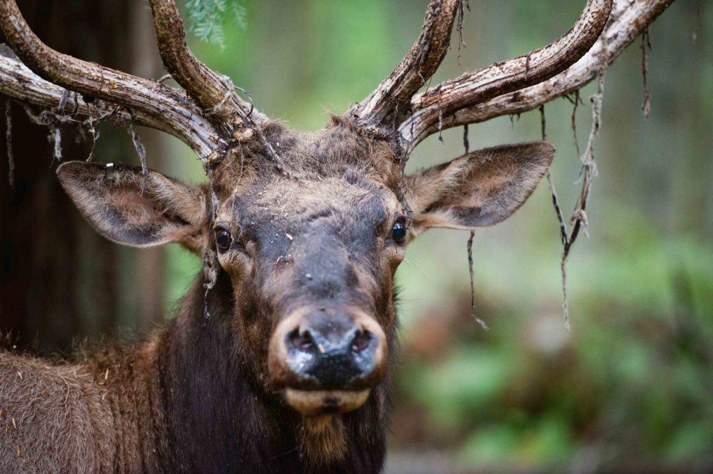 elk shedding antlers