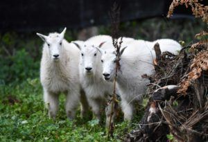 mountain goat kid trio