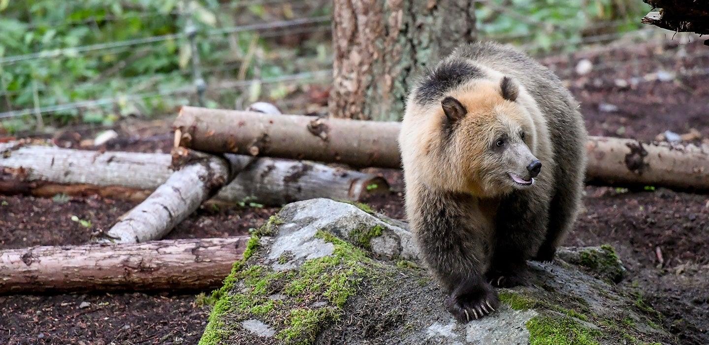 Animals At Northwest Trek Free Roaming Bears Cats