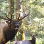 elk bugling in forest