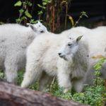 Three mountain goat kids near log