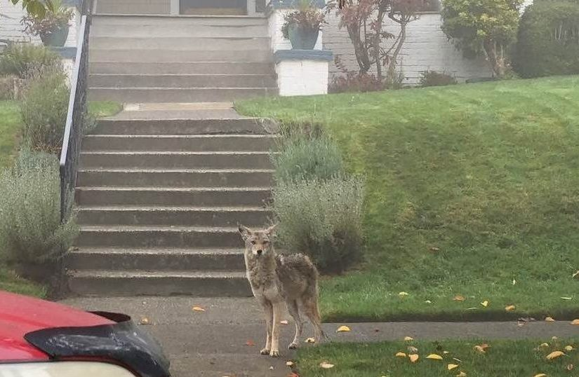 Coyote on city sidewalk