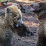grizzly cubs growling